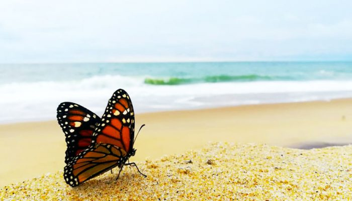 A Beautiful Monarch Butterly on South Bethany Beach